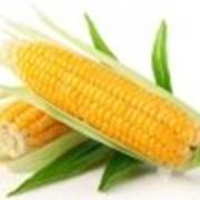 Семена кукурузы Сплендис F1 Евралис Семенс фото