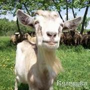 Овцы племенные разведение, продажа, животноводство фото