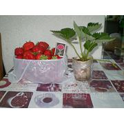 Саженцы клубники Королева Елизовета 2 фото