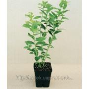 Саженцы голубики высокорослой (садовой, канадской, лат. Vaccinium Corymbosum) от производителя. фото