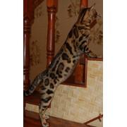 Кот породистный фото