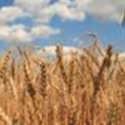 Производство, заготовка, хранение и подработка зерновых культур. фото