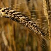Протравливатели зерна, Селест топ фото