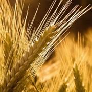 Закупка семян, зерновых культур, сои, семечки. фото