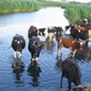 Крупный рогатый скот фото