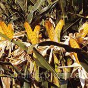 Насіння кукурудзи ДКС 291 ФАО 290 фото