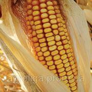 Насіння кукурудзи ДКС 2870 ФАО 210 фото