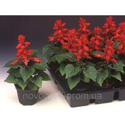 Salvia splenders, сальвия сверкающая - Flamex® 2000 F1, Сингента (Goldsmith Seeds) - 1000, 500, 250, 100 семян фото