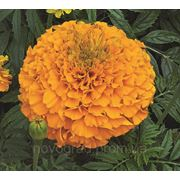 Tagetes erecta, бархатцы прямостоячие - Perfection™ F1, Сингента (Goldsmith Seeds) - 1000, 500, 250, 100 семян фото