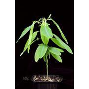 Семена десмодиума фото