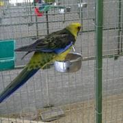 Желтобрюхая розелла (Тасманийская) фото