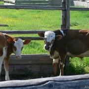 Телята, коровы фото