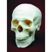 """Модель """"Череп человека», анатомические модели человека, анатомическая модель человека купить, анатомическая модель скелета человека, анатомическая модель черепа человека, анатомическая модель тело человека. фото"""
