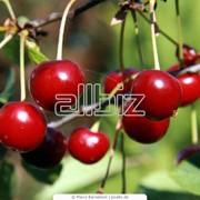 Саженцы деревьев,саженцы яблони,саженцы груши,абрикос,ягодных кустарников,опт,розница фото