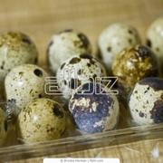 Перепелиное яйцо пищевое фото