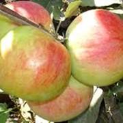 Саженцы яблонь сорта Кузнецовские, Саженцы яблонь купить в Казахстане фото