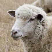 Шерсть овечья, шерсть на экспорт, продажа шерсти в Украине фото