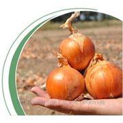 Семена лука Каладо F1 250000сем. фото