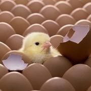 Инкубация яиц всех видов птицы фото