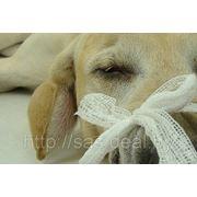 Лечение отогематомы у собак, кошек, кроликов фото