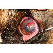 Лечение язвы роговицы у собак и кошек фото