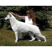 Белая (Немецкая) Швейцарская Овчарка (Американо-Канадская Белая Овчарка) фото