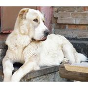 КУРАЖ-ХАН питомник собак средене азиатская овчарка (алабай) и мальтийская болонка (мальтезе) фото