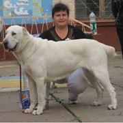 Ринговая подготовка собак и щенков, показ собак на выставках фото