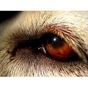 Первичный прием ветеринарного офтальмолога фото