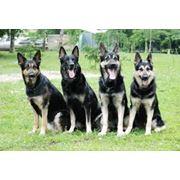 Разведение собак элитных пород фото