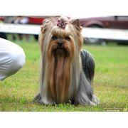 Стрижка собак в Херсоне,стрижка йоркширских терьеров Херсон, стрижка шит-цу в Херсоне, стрижка пуделей в Херсоне фото