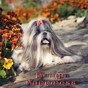 Питомники собак «Brings happiness» демонстрация ши-тцу груминг уход содержание продажа щенков разведение родословная. фото