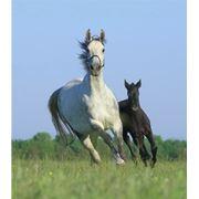 Продажа племенных лошадей Конный завод Статус в Украине фото