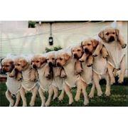 Инструктор по вязке собак различных пород. Помогу развязать кобеля и суку мелких или крупных пород. фото