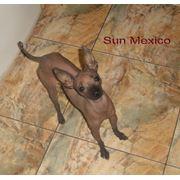 Кобель мексиканской голой собаки(Вязка) фото