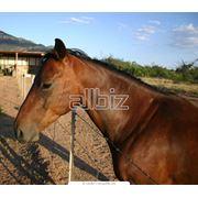 Продажа лошадей на убой фото
