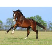 Продажа лошадей Конный завод Статус, ООО фото