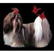 Разведение декоративных собак породы йоркширский терьер, ши-тцу, цвергпинчер фото