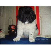 Разведение собак породы ньюфаундленд редких окрасов : бело-чёрного и коричневого от титулованных собак импортированных в Украину. Только самые лучшие крови мира и самое здоровое потомство! фото