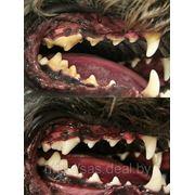 Ультазвуковое удаление зубного камня кошкам и собакам фото