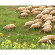 Продажа племенных овец в Донецкой области продажа баранов в Донецкой области фото