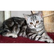 Продажа котят : Шотландские вислоухие и прямоухие котята фото