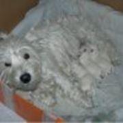 Продажа животных, питомник собак породы Вест хайленд вайт терьер Happy Westies Land фото