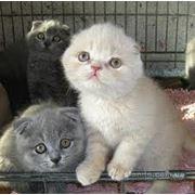 Продажа котят вислоухих и прямоухих фото