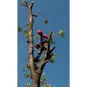 Обрізання та кронування дерев. НВ-Сервіс фото