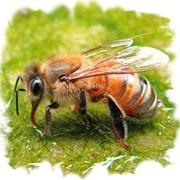 Пчелотерапия (сон с пчелами) фото