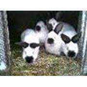 Продаем кроликов разных пород и окрасов фото
