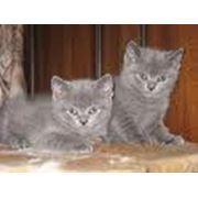 Котята скотиш-страйт, окрас - черный, голубой. фото