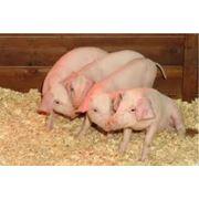 Разведение и убой свиней фото