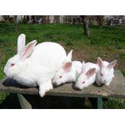 Разведение и продажа кроликов фото
